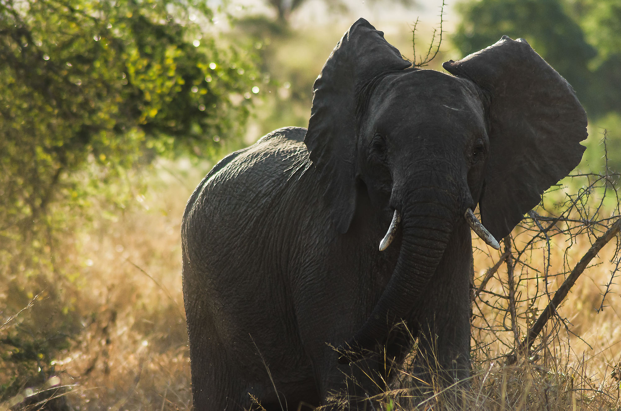 african-elephant-juvenile