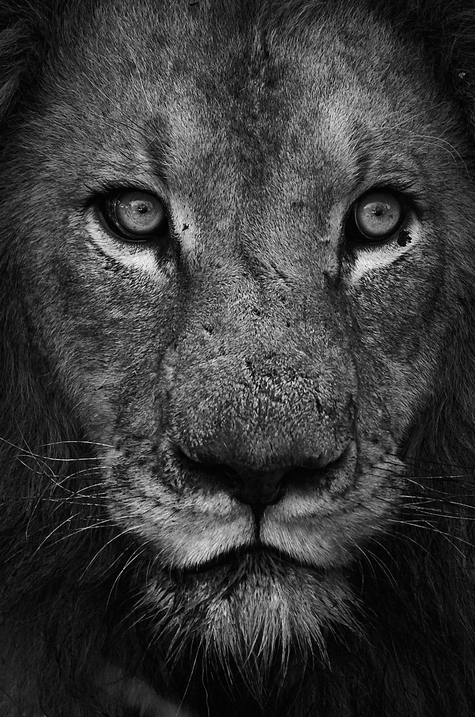 male-lion-black-and-white-portrait