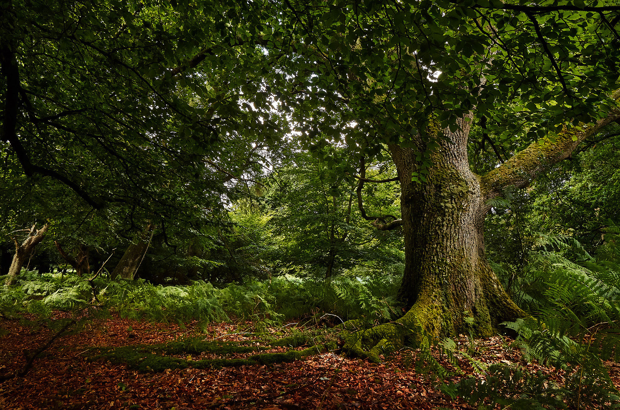 oak-tree-new-forest-national-park